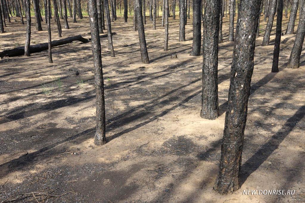 Сгоревшие сосновые посадки
